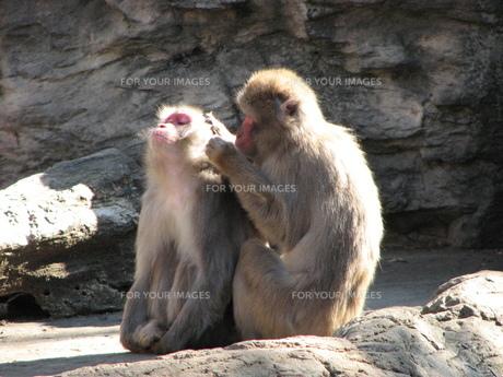 毛づくろい中の猿の写真素材 [FYI00176643]