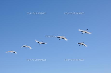 青空に群れなすタンチョウの写真素材 [FYI00176683]
