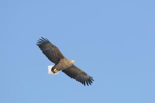 獲物を探して飛ぶオジロワシの写真素材 [FYI00176699]