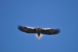 獲物を探して飛ぶオオワシの写真素材 [FYI00176701]