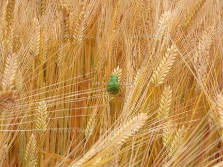 麦畑のカエルの写真素材 [FYI00176788]