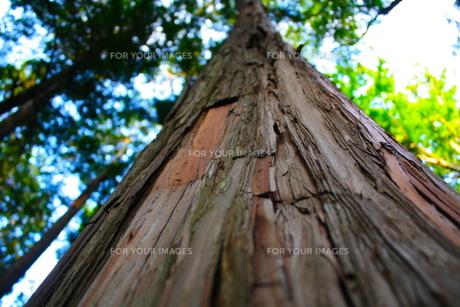 ヒノキの木の素材 [FYI00176809]