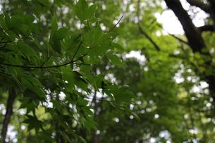 緑のもみじの写真素材 [FYI00177358]