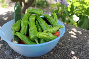 夏野菜収穫の写真素材 [FYI00177370]