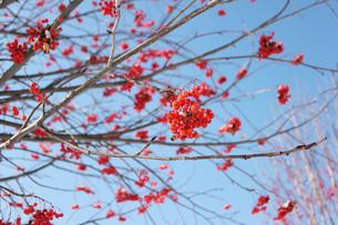旭川冬のナナカマドの写真素材 [FYI00177371]