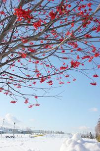 ナナカマドの実と雪の公園の写真素材 [FYI00177402]