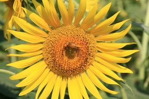 ヒマワリと蜜蜂の写真素材 [FYI00177499]