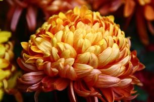 菊の花の写真素材 [FYI00177504]
