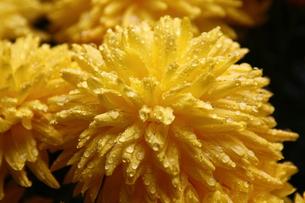 菊の花の写真素材 [FYI00177505]
