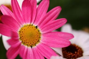 ピンクの花の写真素材 [FYI00177526]