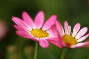 ピンクの花の写真素材 [FYI00177528]