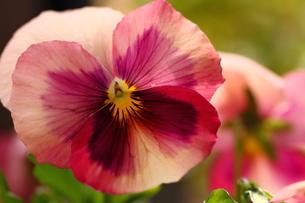 ピンクの花の写真素材 [FYI00177529]