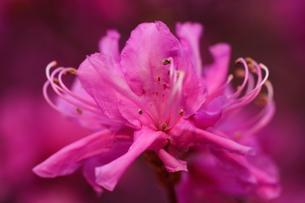 桃色の花の写真素材 [FYI00177553]