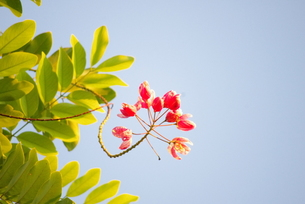 a flower at Waikikiの写真素材 [FYI00177730]