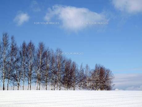 北海道 美瑛の丘 白樺並木の写真素材 [FYI00177843]