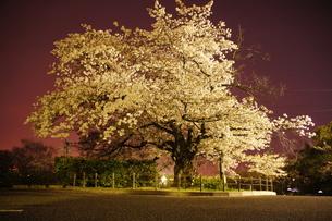 夜桜の写真素材 [FYI00178078]