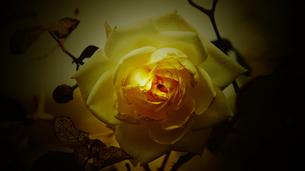 白い薔薇の素材 [FYI00178104]