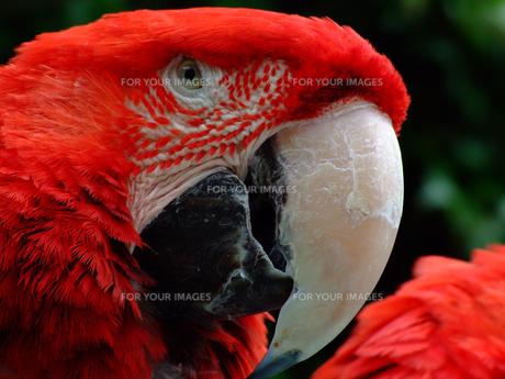 赤い鸚鵡の写真素材 [FYI00178110]