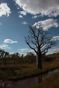 西オーストラリアのバオバブ Adansonia gibbosaの素材 [FYI00178152]
