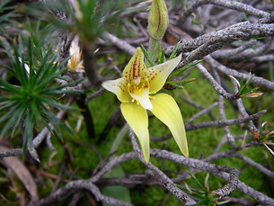 オーストラリアに自生する地生蘭 カラデニア・フラバ Cowslip Orchid - Caladenia flavaの素材 [FYI00178158]