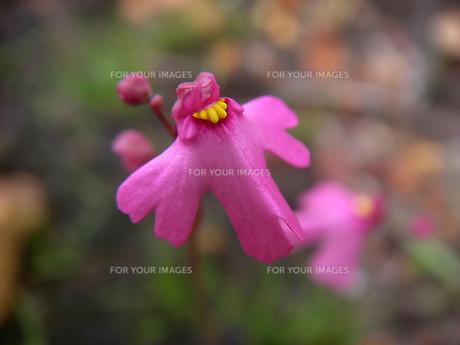 ピンクの花を咲かせる食虫植物 ウトリクラリア・ムルティフィダ Utricularia multifida 西オーストラリアにての素材 [FYI00178162]