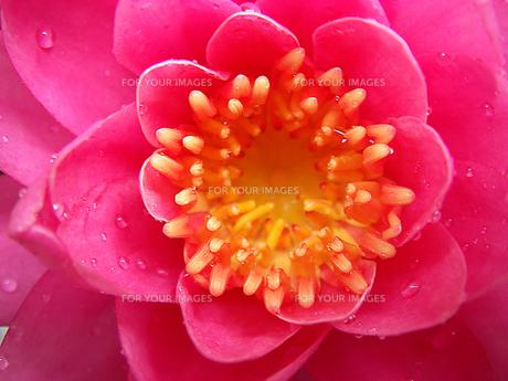 ピンク色の花の温帯スイレンのアップ の素材 [FYI00178170]