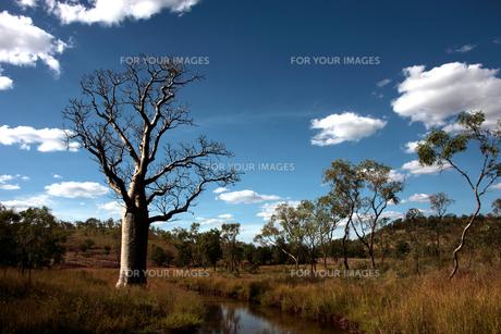 西オーストラリアのバオバブ2 Adansonia gibbosaの素材 [FYI00178176]