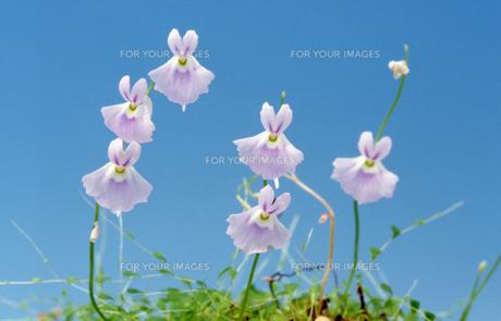 食虫植物の花 ウトリクラリア・サンダーサニー ウサギゴケ Utricularia sandersonii 水色 青バックの素材 [FYI00178178]