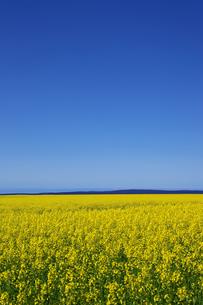 オーストラリアの菜の花畑の素材 [FYI00178205]