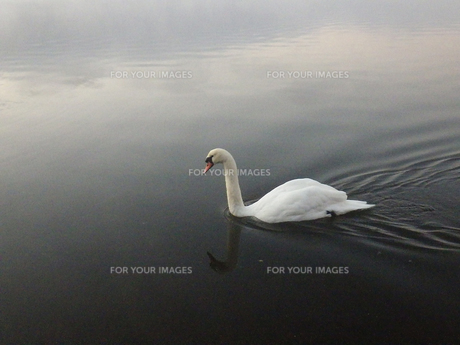 山中湖を泳ぐ白鳥の素材 [FYI00178216]
