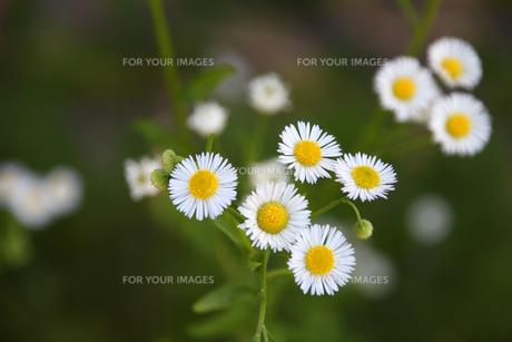 ヒメジオンの花の写真素材 [FYI00178221]