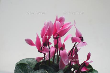 シクラメンの花の写真素材 [FYI00178229]