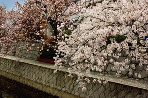 桜の写真素材 [FYI00178245]