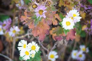 寒菊の写真素材 [FYI00178247]