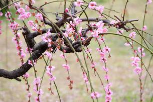 梅の花の写真素材 [FYI00178248]
