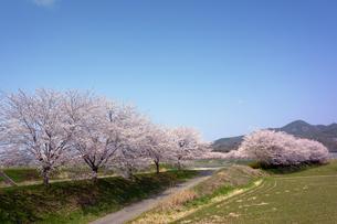 桜並木の写真素材 [FYI00178249]