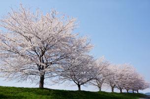 桜並木の写真素材 [FYI00178254]
