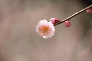 梅の花の写真素材 [FYI00178255]