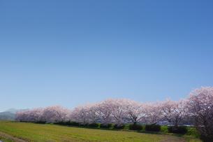 桜並木の写真素材 [FYI00178257]