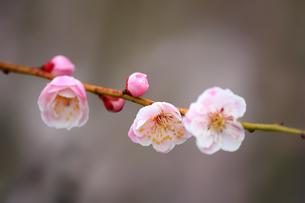 梅の花の写真素材 [FYI00178258]