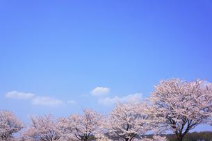 桜の写真素材 [FYI00178259]