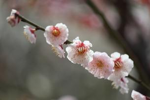 梅の花の写真素材 [FYI00178266]