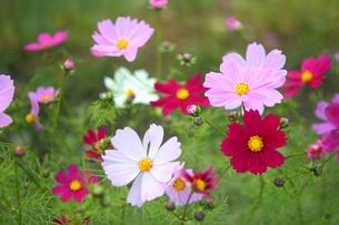 コスモスの花の写真素材 [FYI00178275]