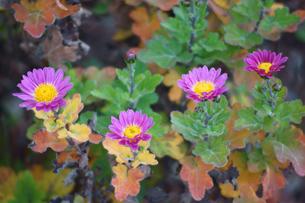 寒菊の写真素材 [FYI00178276]