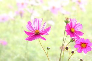コスモスの花の写真素材 [FYI00178282]