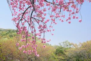 桜 山の写真素材 [FYI00178301]