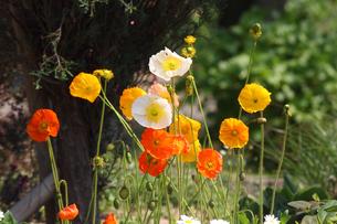 芥子の花の写真素材 [FYI00178302]
