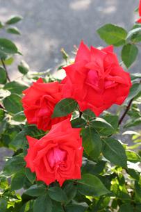 薔薇の花の写真素材 [FYI00178315]