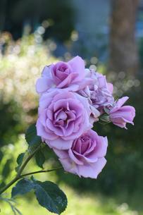 薔薇の写真素材 [FYI00178319]