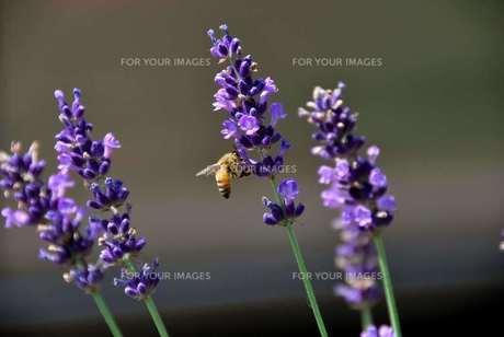 ラベンダーとミツバチの写真素材 [FYI00178320]